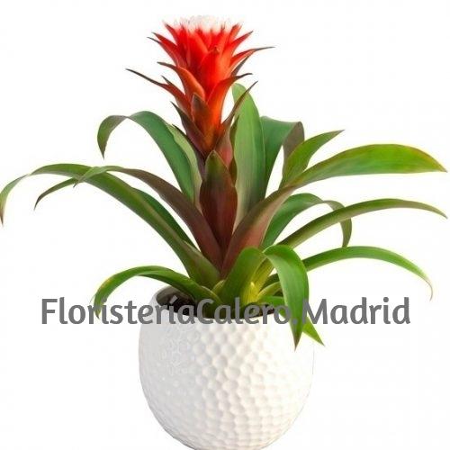 Planta Guzmania con cerámica